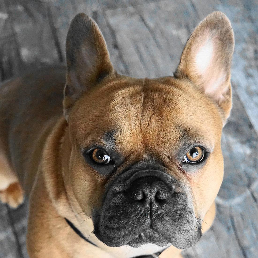 Rasseportrait Franzosische Bulldogge Wildborn Blog