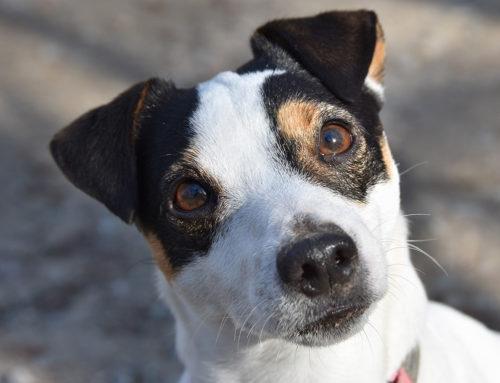 Rasseportrait: Jack Russel Terrier